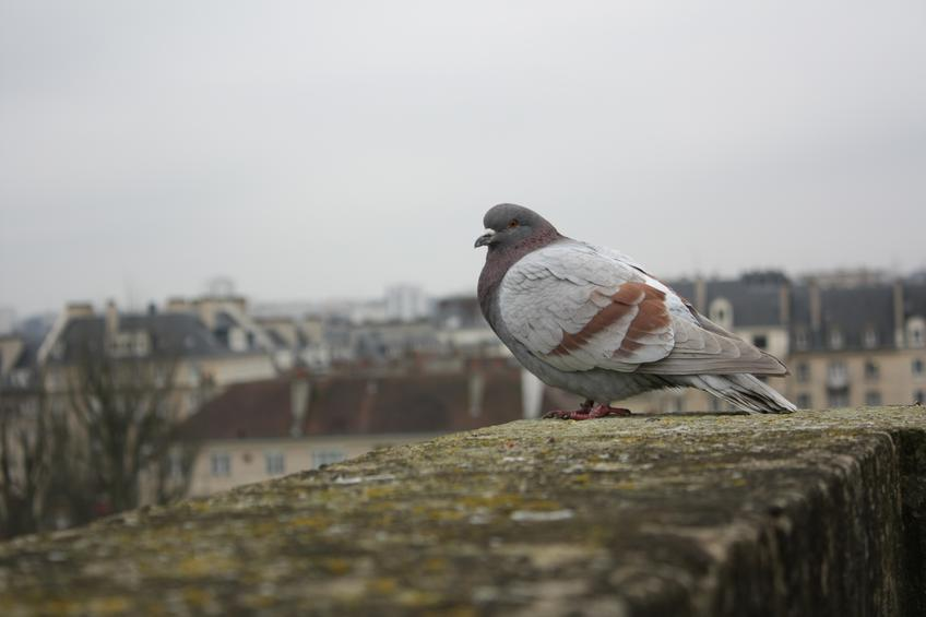 Pigeon — Photo 72 — Project 365
