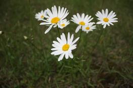 Daisies — Photo 95 — Project 365